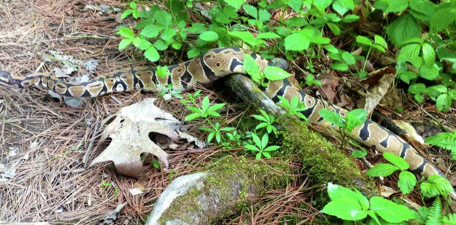 A snake was seen by hikers in the Plotter Kill preserve in Rotterdam on Monday. (Photo provided by Dylan Hall) Photo: Dylan Hall