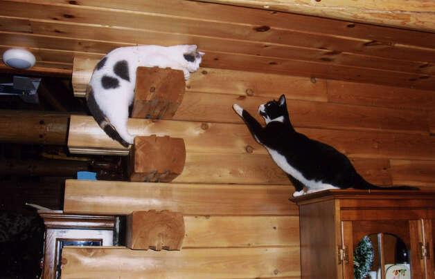 House cats, Calie, left, and Mason, right, play in the Guilderland home of Michael and Jean Zelezniak. (Courtesy Jean Zelezniak)