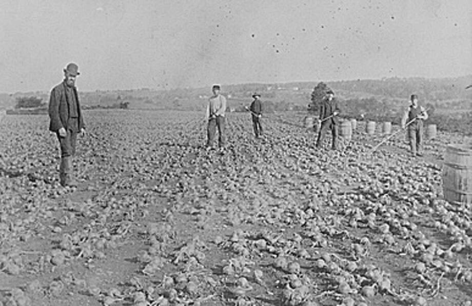 Nellis Sherwood, the man in the bowler hat, farms his onions on Warner Hill in this photograph taken in the 1880s. Onions became a major crop in Fairfield, and Southport was the shipping center for the onions. Courtesy: Fairfield Museum and History Center Photo: Contributed Photo / Fairfield Citizen