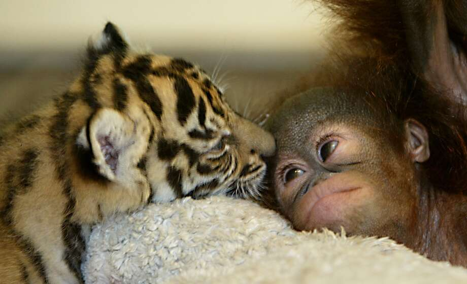 Dema, a Sumatran tiger licks Nia a baby orangutan in a nursery room at the Taman Safari zoo in Bogor, Indonesia. The tiger and orangutan, which would never be together in the wild,  became inseparable playmates after they were abandoned by their mothers. Photo: Achmad Ibrahim, AP