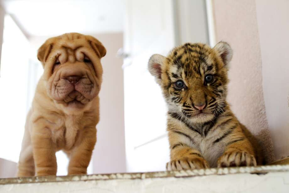 Siberian tiger cub Plyusha and Shar Pei puppy Fighter explore their home. Stairs are big! Photo: Igor Yakunin, Associated Press