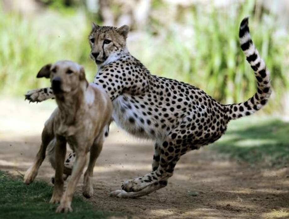 Kasi the cheetah and his yellow lab companion, Mtani, interact at the Cheetah Run exhibit in Tampa, Fla. Photo: Jay Conner, Associated Press