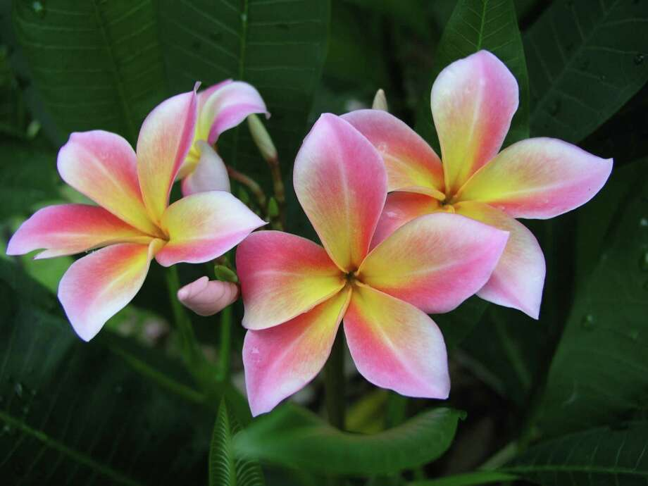 Find plumeria varieties at Saturday's Plumeria Society of America show and sale.