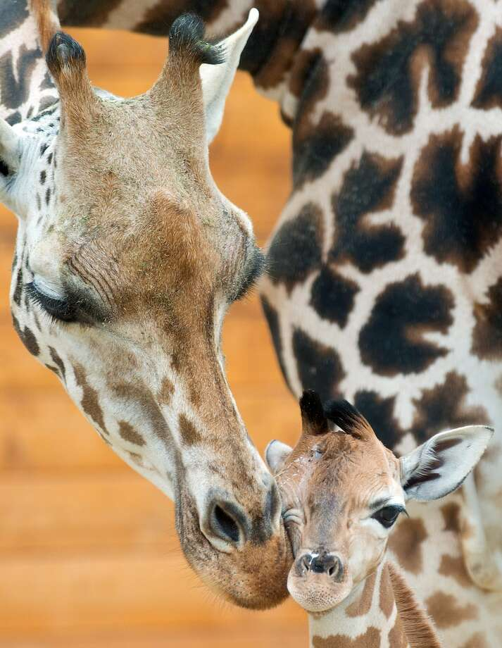 Welcome, little Marty! Maud nuzzles her 3-day-old baby, Martin, at the zoo in Kronsberg am Taunus, 