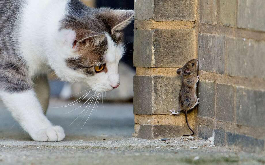 Last chance of escape - scale the wall! This is probably not going to end well for the mouse. (Hanover, Germany.) Photo: Julian Stratenschulte, Associated Press