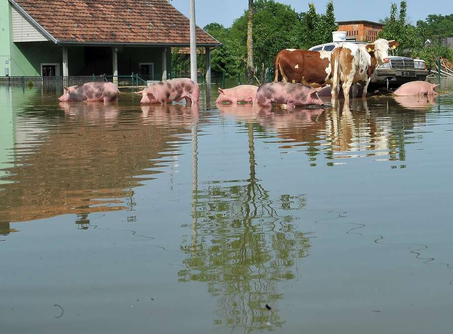 Swine lake: Hungry livestock try to find the shallowest water on a flooded farm in the village of Domaljevac, Bosnia. Vast tracts of farmland are still under water in Bosnia, Croatia and Serbia after the worst floods in more than a century. Photo: Elvis Barukcic, AFP/Getty Images