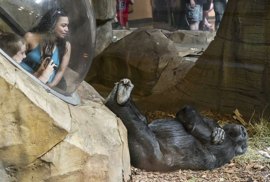 Don't bother me: A lounging gorilla pays no attention to the curious humans in a viewing bubble at the Henry Doorly Zoo in Omaha, Neb. Photo: Nati Harnik, Associated Press