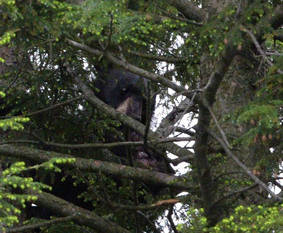 The bear that had taken residence in a tree from the rear of 44 Rose Ct. Wednesday afternoon May 28, 2014 in Albany, N.Y.       (Skip Dickstein / Times Union) Photo: SKIP DICKSTEIN