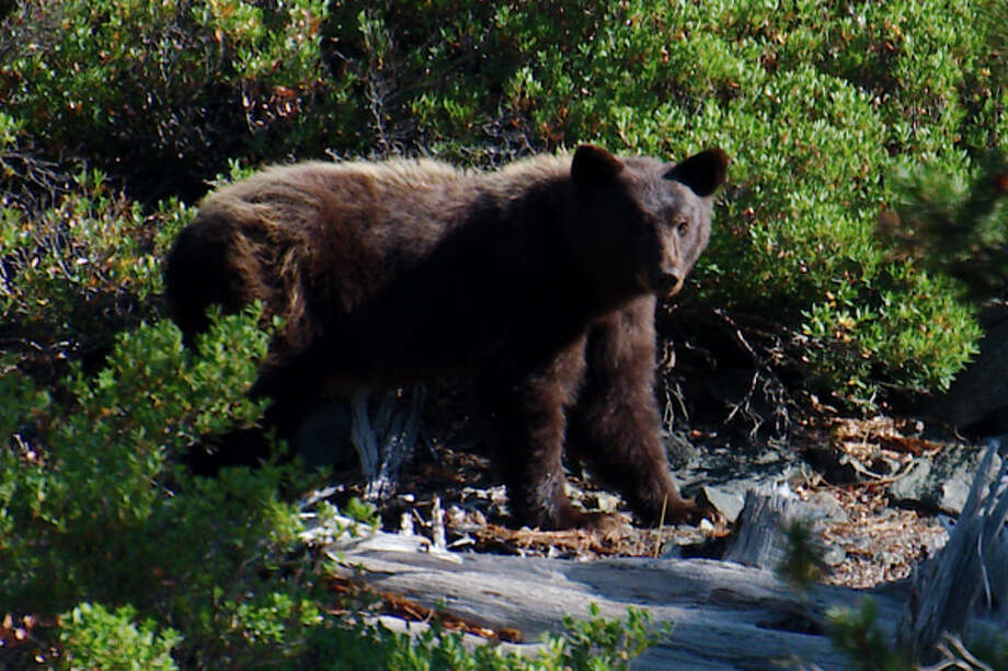 Bears are drawn to Upper Independence Creek to feed on spawning cutthroat trout Photo: Luke Lempart
