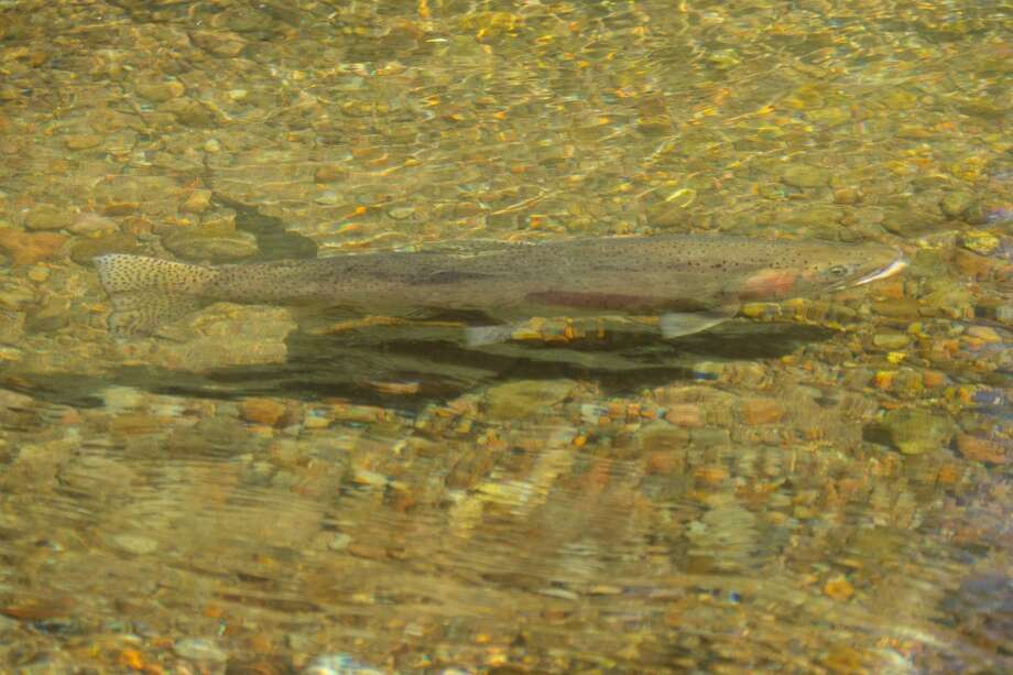 Lahontan cutthroat trout in Upper Independence Creek Photo: Simon Williams/The Nature Conservancy