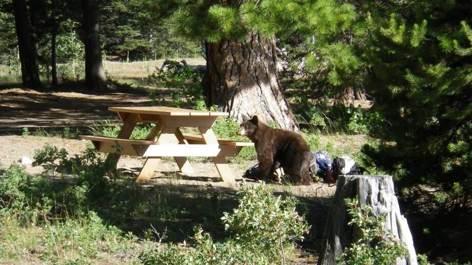 Bear takes a sniff at picnic site at Independence Lake Photo: Dave Mandrella/The Nature Conservancy