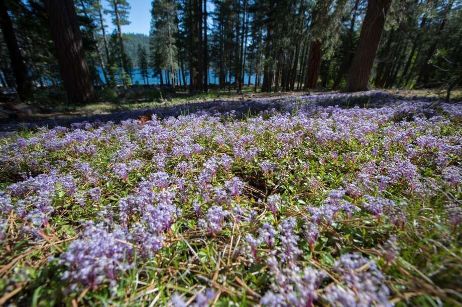 "As spring arrives, ""Mahala Mat"" wildflowers front the forest near lake shore Photo: Simon Williams/The Nature Conservancy"