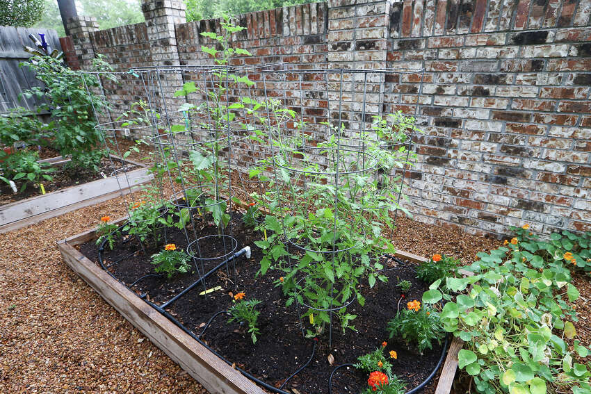 Juliet, Valley Cat, Tycoon, Sun Gold, Sweet 100 and Black Cherry tomatoes grow in cages in Stephanie Lanier's garden on Sunday, May 25, 2014.MARVIN PFEIFFER/ mpfeiffer@express-news.net
