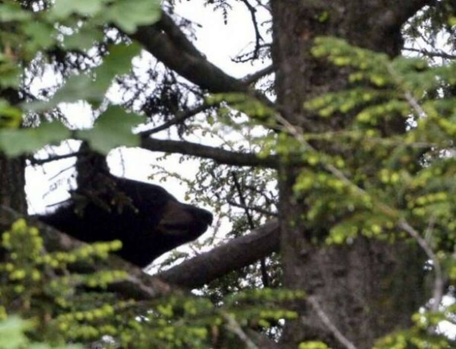 A close-up of the bear as it clings to a pine tree on Rose Court in Albany Wednesday. Skip Dickstein / Times Union