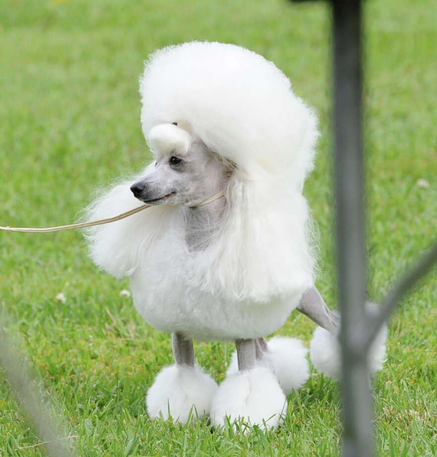 A toy poodle waits during the Greenwich Kennel Club annual dog show at Taylor Farm Park, Norwalk, Conn., Saturday, June 7, 2013. There are bound to be plenty more poodles and other breeds when the show returns to the park Saturday, June 7, 2014. Photo: Bob Luckey / Greenwich Time