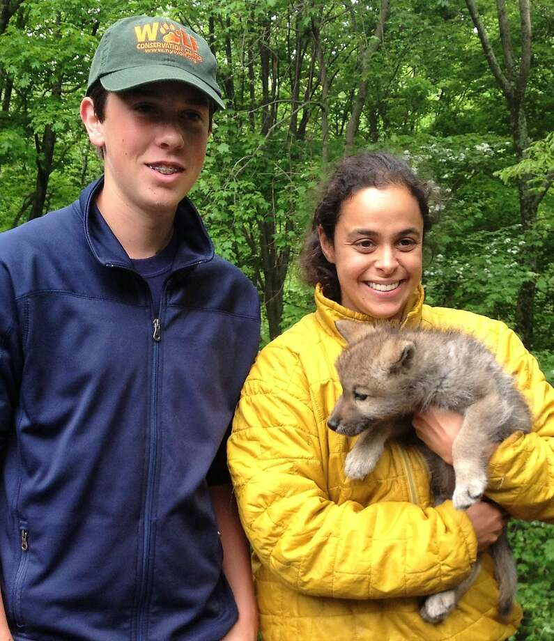 Teen wolf intern:High school student Tommy Whiteley is spending his summer volunteering at the Wolf Conservation Center in South Salem, N.Y., which should allow him ample time to play with 6-week-old Nikai, held by curator Rebecca Bose. Pretty sweet job, Tommy! Photo: Contributed Photo