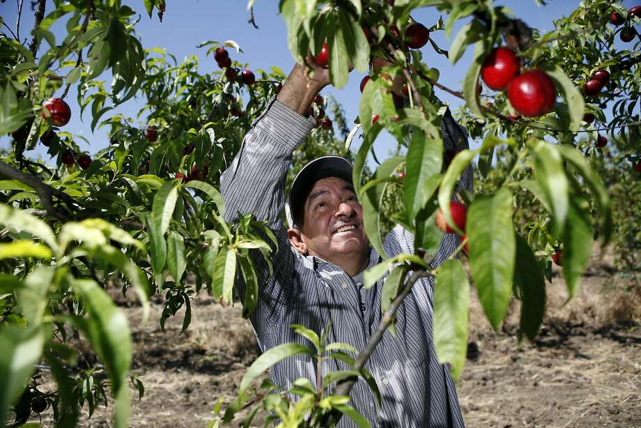 Abel Rizo picks nectarines at Mellow's Nursery & Farms in Morgan Hill. Farmland is disappearing in Santa Clara Valley. Photo: Michael Short, The Chronicle