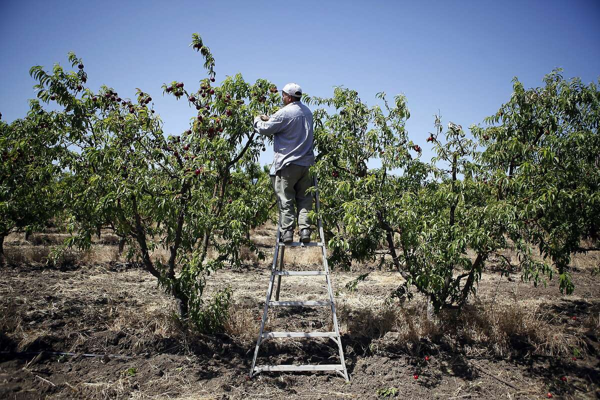 Abel Rizo picks white nectarines in an orchard at Mellow's Nursery & Farms in Morgan Hill, CA, Thursday May 29, 2014.
