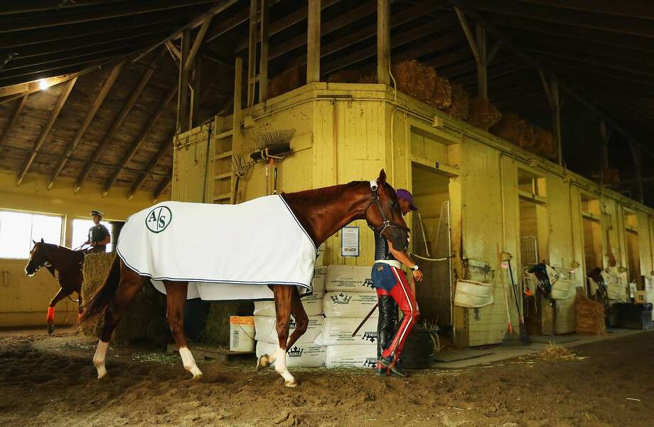 ELMONT, NY - MAY 27:  Kentucky Derby and Preakness winner California Chrome is walked in his barn after a morning workout at Belmont Park on May 27, 2014 in Elmont, New York. He is scheduled to race for the Triple Crown in the 146th running of the Belmont Stakes  (Photo by Al Bello/Getty Images) Photo: Al Bello, Getty Images