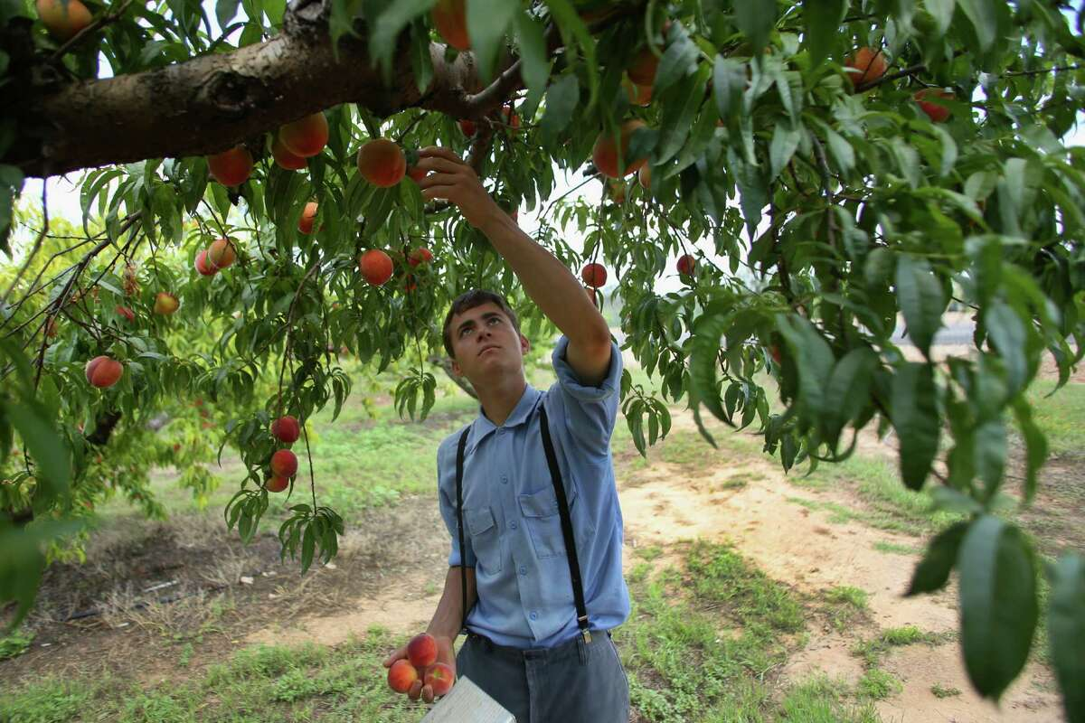3. Pick peaches -- Those with a sweet tooth can pick ultra-sweet peaches from the various orchards in and around Fredericksburg. The first peaches ripe at the end of May, and could last until the end of August.