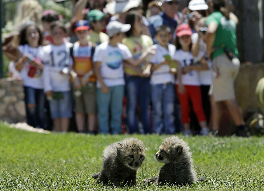 I'm feeling some pressure to entertain:Schoolchildren wait for two 30-day-old cheetah cubs to do something at the private Attica Zoological Park in Spata, Greece. The cubs, a male and a female weighing about 3 pounds each, have not yet been named. Photo: Thanassis Stavrakis, Associated Press