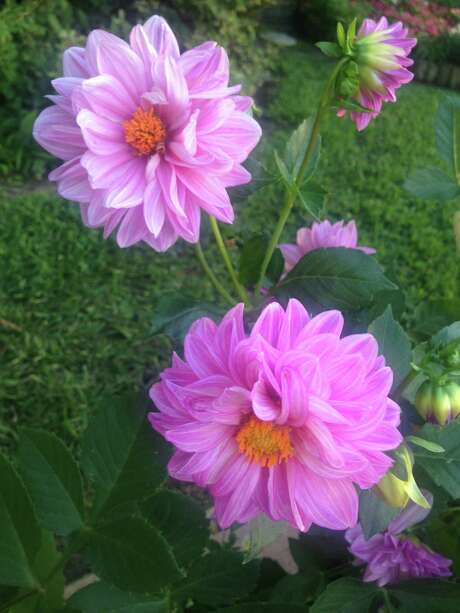 Gardener John Wolda enjoys these grand dahlias he grew from seed bought at Butchart Gardens in British Columbia.