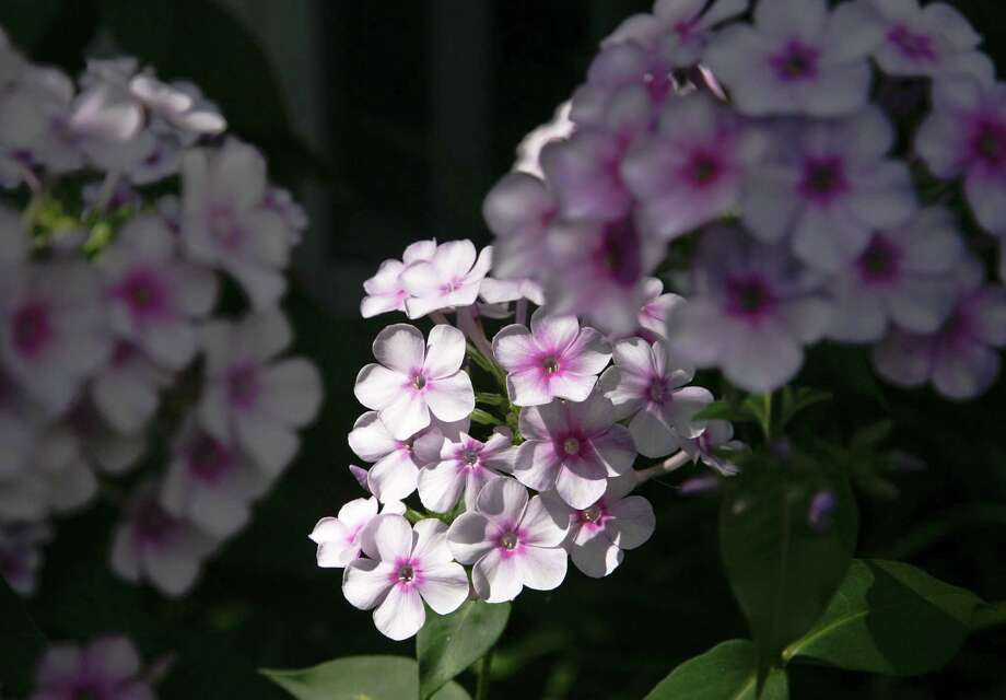 Summer phlox is a reliable perennial that flowers late spring to fall, inviting butterflies and hummingbirds to share its nectar. Photo: John Everett / handout