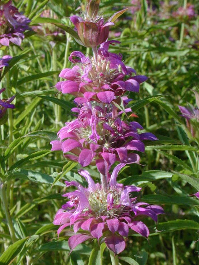 Beebalm (Monarda citriodora), aka horsemint, is a bee favorite. Photo: Lady Bird Johnson Wildflower Center