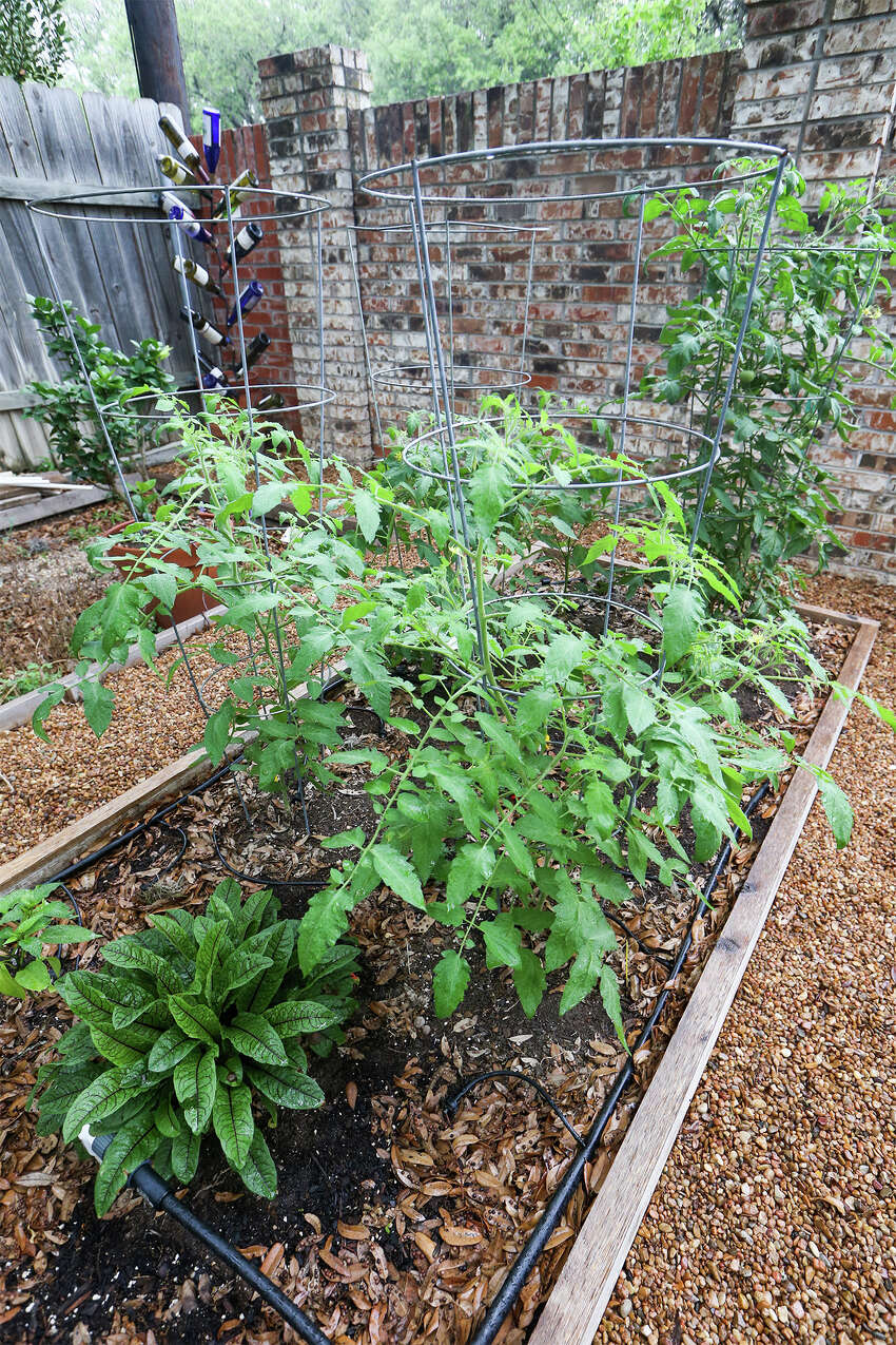 Stephanie Lanier has planted Juliet, Valley Cat and Tycoon tomato plants in this raised bed in her garden on Sunday, May 25, 2014.MARVIN PFEIFFER/ mpfeiffer@express-news.net
