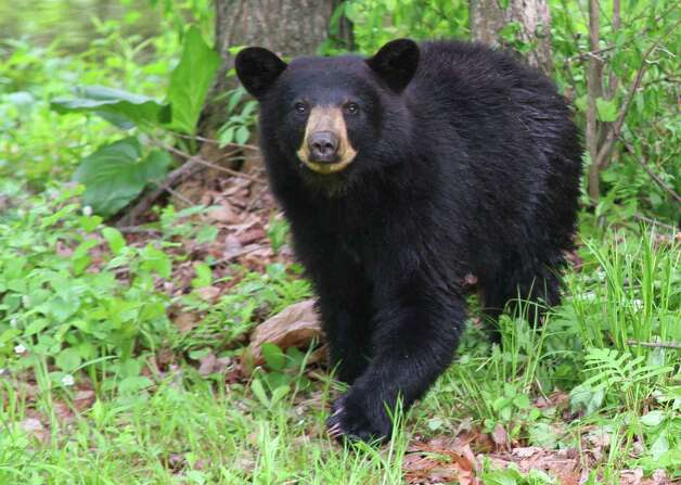 """A young bear was searching for food in Jeff Victor's West Sand Lake neighborhood and found a few morsels in a trash container. """"I first saw the bear as it was dragging a 'lunch bag' across the ground, and I alerted my family so that they could watch the bear from a safe distance. The bear watched me take pictures for two or three minutes, then it ran off,"""" Victor said. (Jeff Victor)"""
