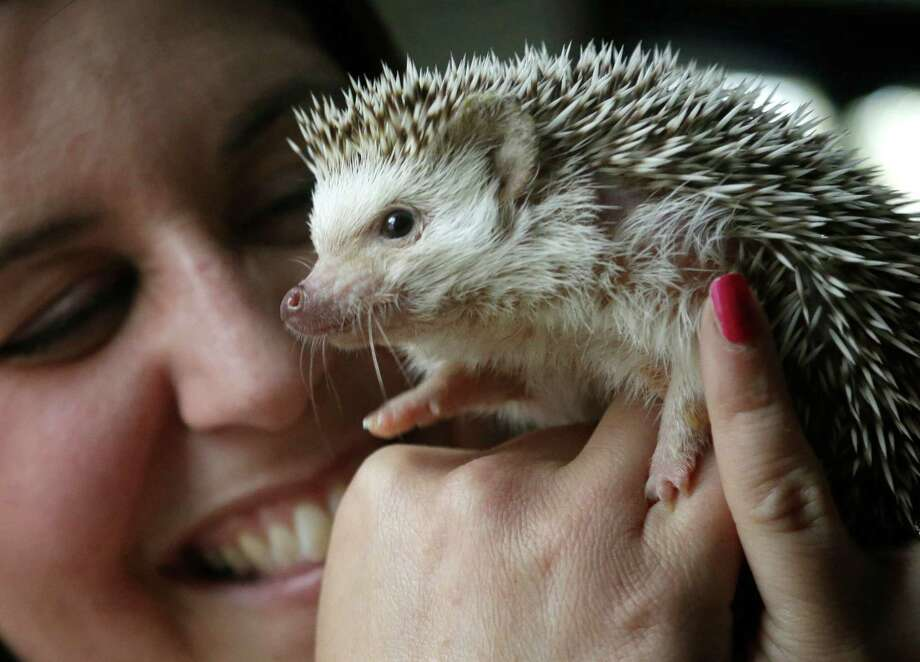 "Hedgehogs are gaining popularity as household pets. View some adorable photos, and check out more pet photos submitted by our readers.  In this May 6, 2014 photo hedgehog breeder and trainer Jennifer Crespo, of Gardner, Mass., holds ""Circus,"" a one-year-old pet hedgehog, at her home in Gardner, Mass. Hedgehogs are steadily growing in popularity across the United States, despite laws in at least six states banning or restricting them as pets. Photo: Steven Senne, AP / AP"