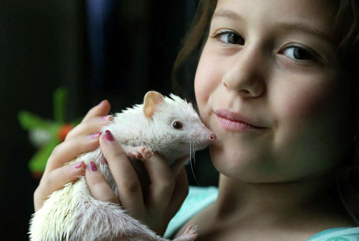 In this May 6, 2014 photo Sophia Crespo, 7, of Gardner, Mass., displays her six-month-old pet hedgehog