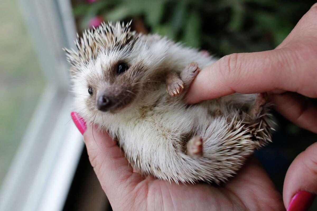 In this May 6, 2014 photo hedgehog breeder and trainer Jennifer Crespo, of Gardner, Mass., holds a pet hedgehog at her home in Gardner, Mass. Hedgehogs are steadily growing in popularity across the United States, despite laws in at least six states banning or restricting them as pets. (AP Photo/Steven Senne) ORG XMIT: MASR208