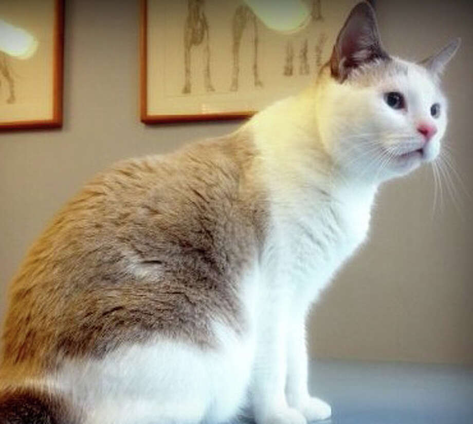 Josie, a Siamese mix currently being hosted by the Save Our Strays organization, needs a permanent home. Photo: Contributed Photo / Westport News