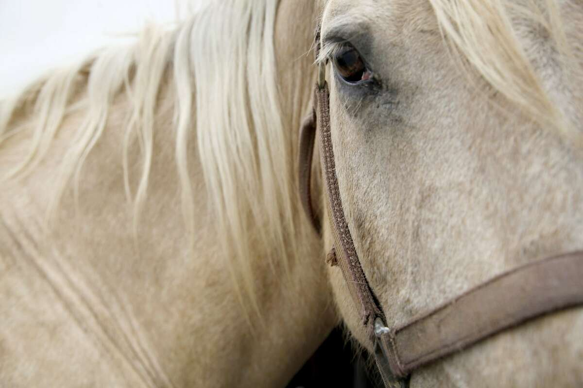 A horse waits outside the trailer for the next ride in Castroville, Calif., on Friday, May 23, 2014. Monterey Bay Equestrian Center offers horseback tours along Salinas River State Beach.