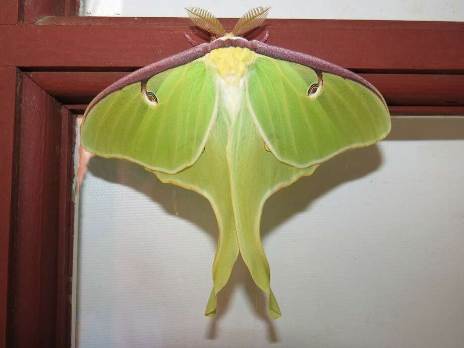 Lunar moth took its place in the Audubon Connecticut board meeting. Photo by Patrick Comins. Photo: Picasa