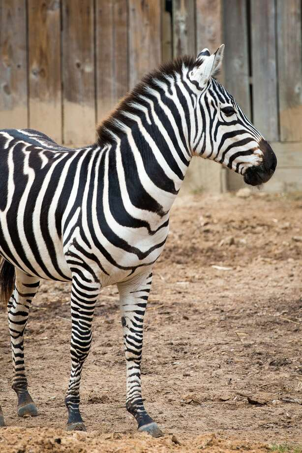 "Hatari, a year-and-a-half old zebra arrived at the zoo just four months ago and had been living happily with his ""yard-mates"" according to zoo staff. Photo: Houston Zoo"