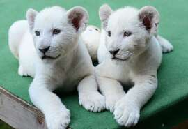 Two eight-week old white lion cubs, Mombasa and Nala settle into a new home, a private zoo in Abony, Hungary on June 3, 2014. The brother and sister lions, one of the rarest animals on the planet, were born April 1, 2014 in northern Italy but were brought last month to a private zoo in Abony, 90 kilometres east of Budapest.