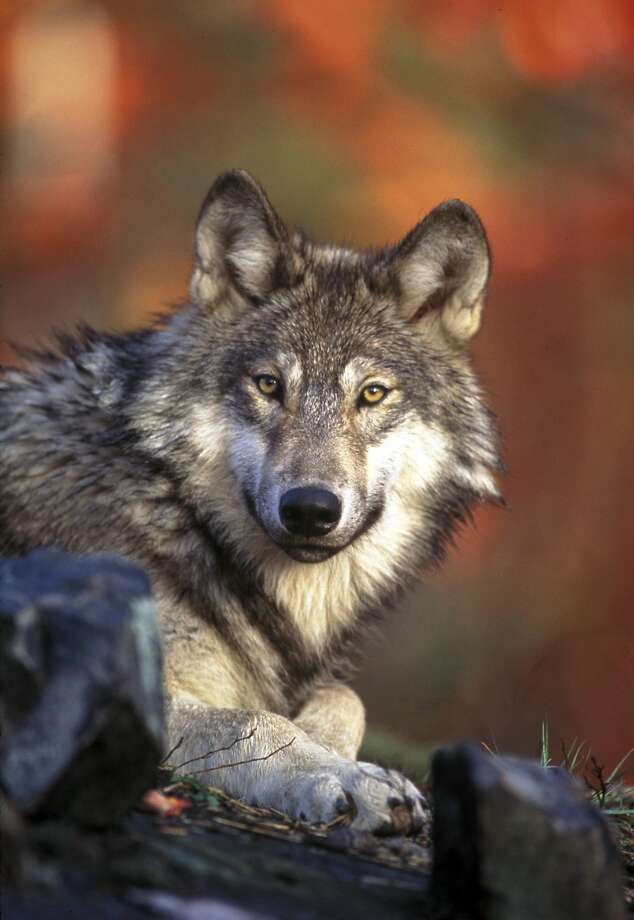 State officials' recommendation against deeming the gray wolf endangered was ultimately rejected. Photo: U.S. Fish And Wildlife Service, AP