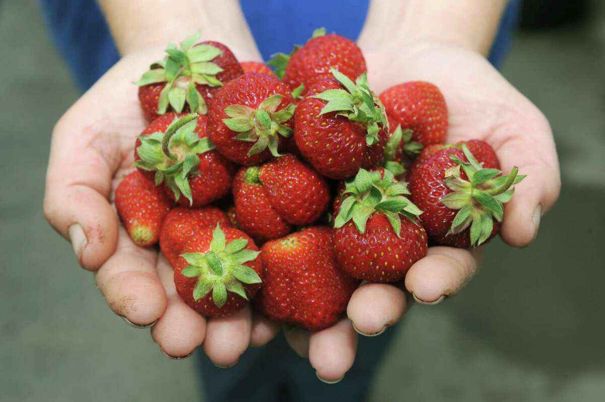 Doreen Olejnik a manager at Altamont Orchards Farm holds strawberries on Friday June 7, 2013 in Altamont, N.Y. (Michael P. Farrell/Times Union) ORG XMIT: MER2014060316264879