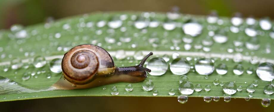 Saturday: The 2014 World Snail Racing Championships in UK, featuring up to 200 snails takes part on Saturday. The record time for the 13-inch course of two minutes was set by Archie the snail in 1995. Photo: Patrick Pleul, Associated Press