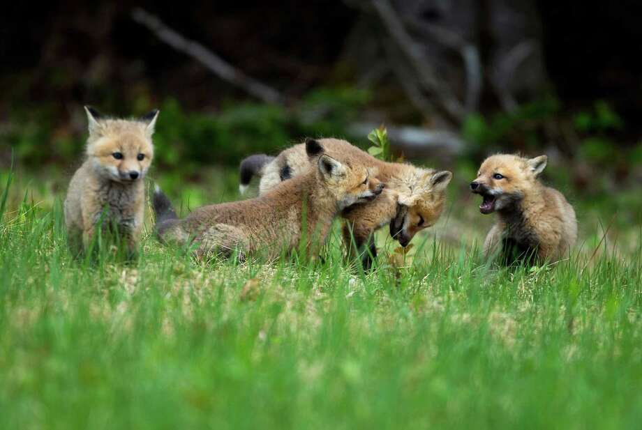 The agency killed 1,770 foxes in the 2013 budget year. Photo: Robert F. Bukaty, STF / AP
