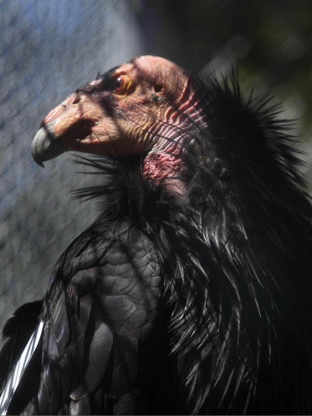 California condor Range: Los Angeles, Monterey, San Luis Obispo, Santa Barbara and Tulare counties, among others Status: Endangered Fun fact: The California condor's wingspan can be up to nine and a half feet.