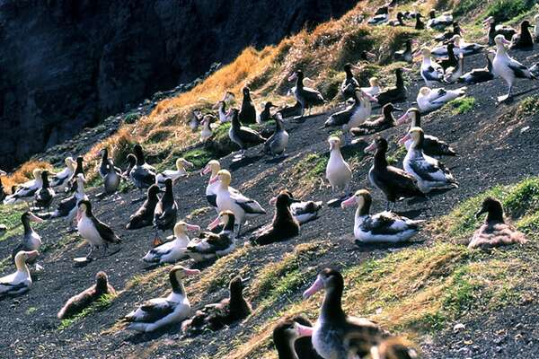 Short-tailed albatross Range: Del Norte, Humboldt and Mendocino counties Status: Endangered Fun fact: Albatross can live up to 40 years in the wild.