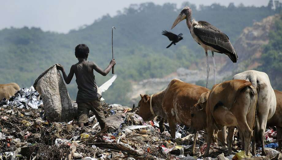 A rag picker competes with a Greater Adjutant Stork and cattle for the best garbage at a dump in the 