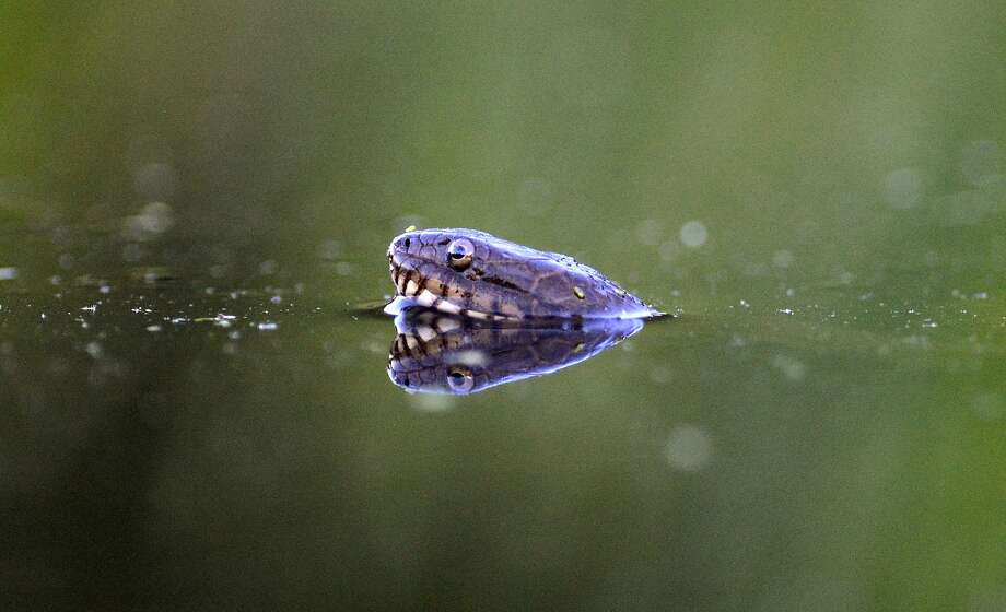 On second thought, let's not go swimming:A northern water snake pokes its head out of the water in   a pond at Frances Slocum State Park in Wyoming, Pa. Photo: Andrew Krech, Associated Press