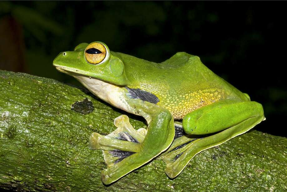 Helen's giant flying frog uses its large, webbed hands and feet to glide between treetops. Photo: Jodi J L Rowley, Associated Press