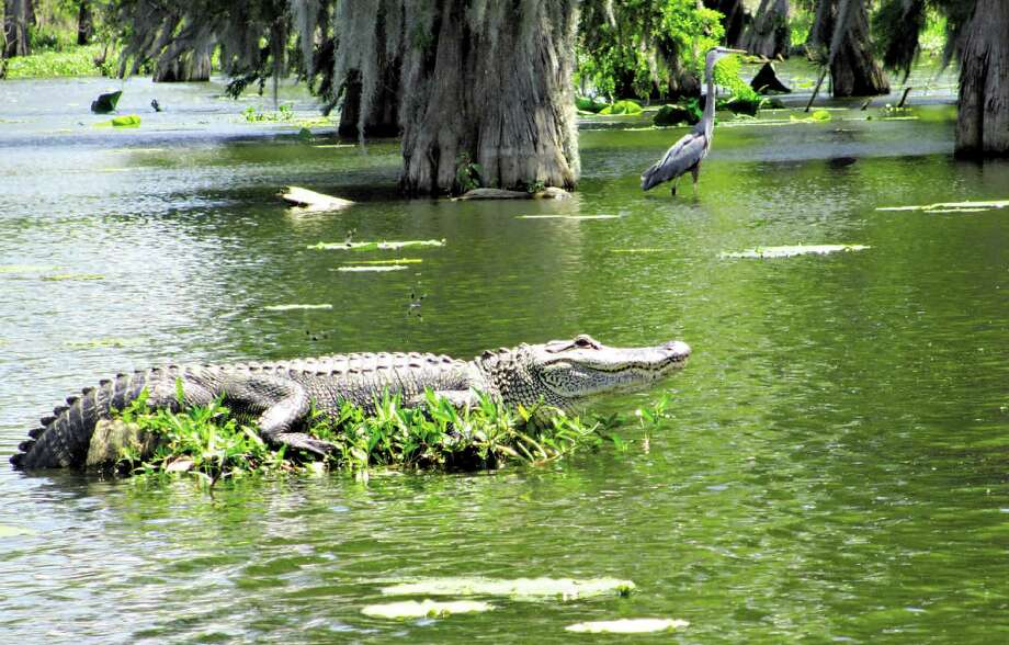 This big gator ignored the tour guide's boat as it circled his perch in Lake Martin. Smaller gators slithered off their logs into the water as the boat approached. Photo: Photos By Terry Scott Bertling / San Antonio Express-News