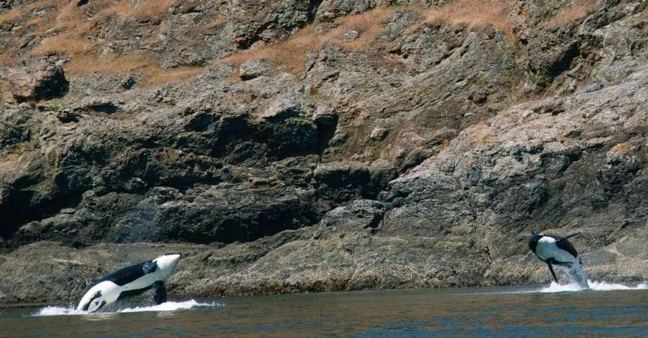 Members of J Pod, at the southern tip of Henry Island, 6/2/14 Photo: (Captain Jim Maya/www.mayaswhalewatch.biz)