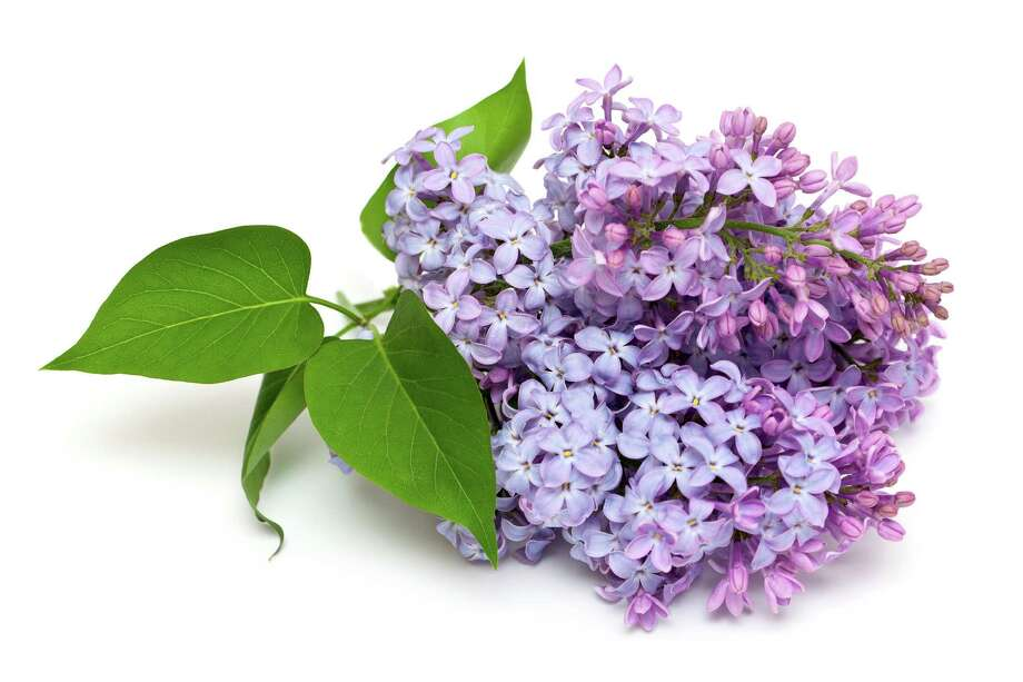 lilac flowers / Diana Taliun - Fotolia